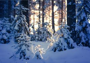 Luminen metsä, aurinko pilkistää puiden välistä